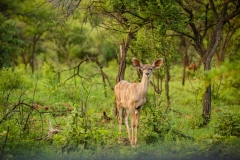 Various buck roam around the expansive game reserve
