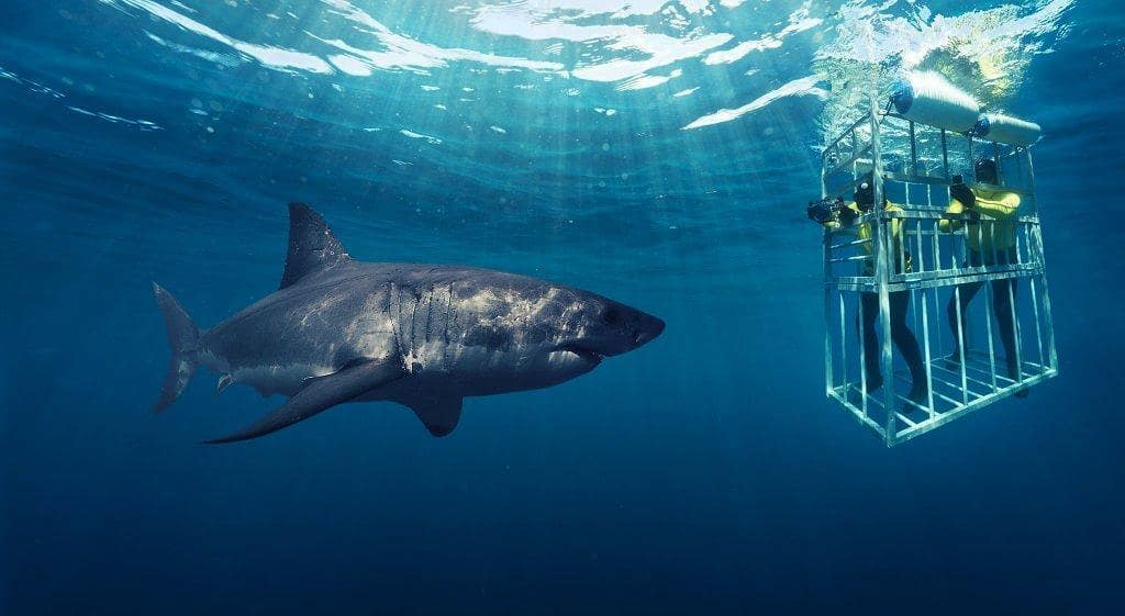 Budget Getaways Shark cage diving
